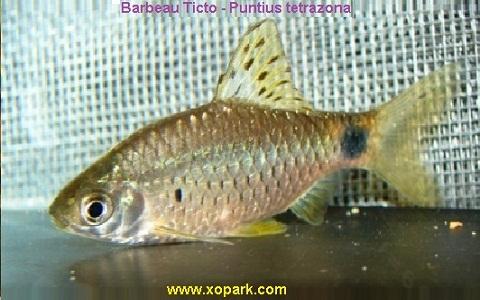 xopark4Barbeau-Ticto—Puntius-tetrazona