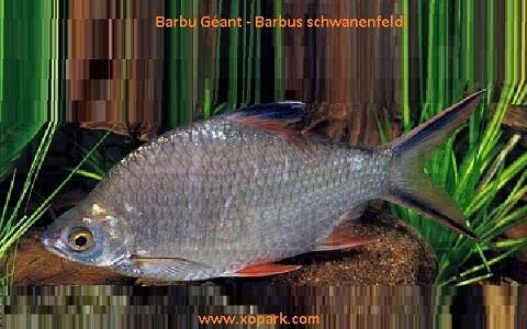 xopark4Barbu-Géant—Barbus-schwanenfeldi—Tinfoil-barb