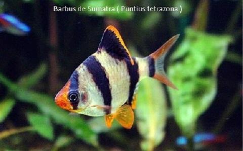 xopark4Barbus-de-Sumatra—Puntius-tetrazona—Tiger-barb