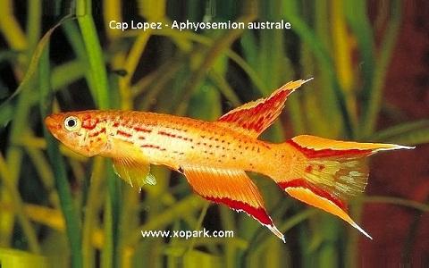 xopark4Cap-Lopez—Aphyosemion-australe—Cape-Lopez-lyretail
