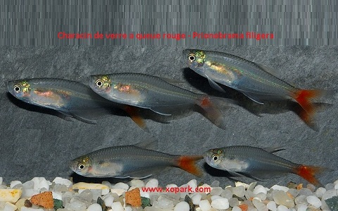 xopark4Characin-de-verre-à-queue-rouge—Prionobrama-filigera—Glass-bloodfin