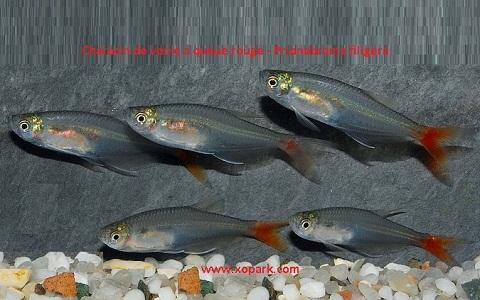 xopark4Characin-de-verre-à-queue-rouge—Prionobrama-filigera—Glass-bloodfin