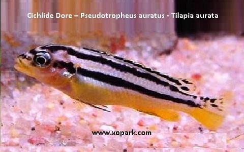 xopark4Cichlide-Dore—Pseudotropheus-auratus—Tilapia-aurata