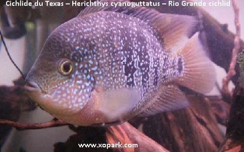 xopark4Cichlide-du-Texas—Herichthys-cyanoguttatus—Rio-Grande-cichlid