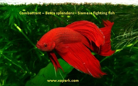 xopark4Combattant—Betta-splendens—Siamese-fighting-fish