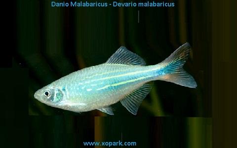 xopark4Danio-Malabaricus—Malabar-danio—Malabar
