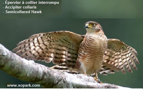 xopark4Epervier-à-collier-interrompu—Accipiter-collaris—Semicollared-Hawk