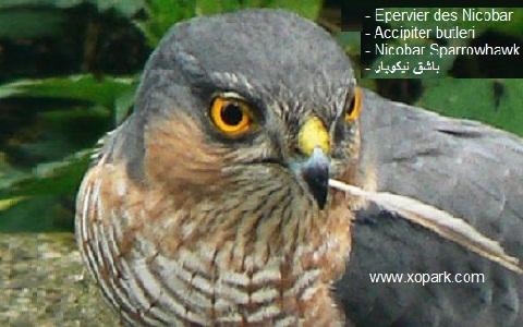 xopark4Epervier-de-Horsfield—Accipiter-soloensis—Chinese-Sparrowhawk