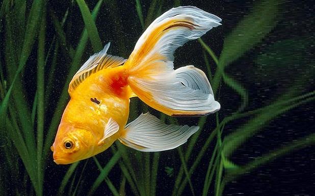 C/1/328  Pesce rosso » coda a velo » ( Carassius auratus )