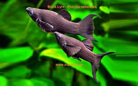 xopark4Molly-noir—Black-Lyre—Poecilia-sphenops
