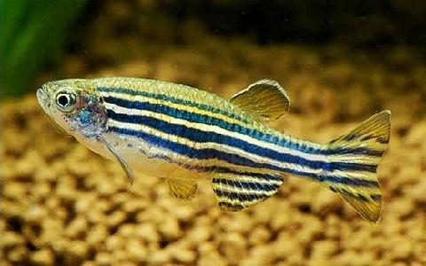 xopark4Poisson-zèbre—Danio-rerio—Zebrafish