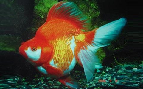 xopark4Ryukin—Ryukin-Goldfish
