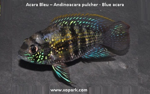 xopark5Acara-Bleu—Andinoacara-pulcher—Blue-acara