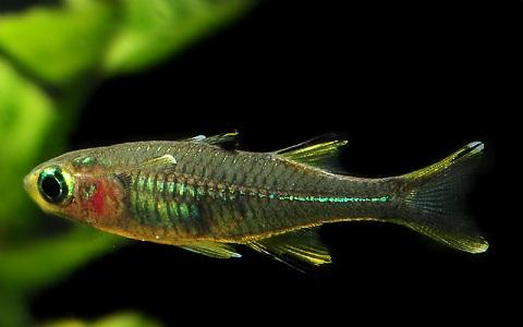 xopark5Arc-en-ciel-des-Célèbes—Telmatherina—Celebes-rainbowfish