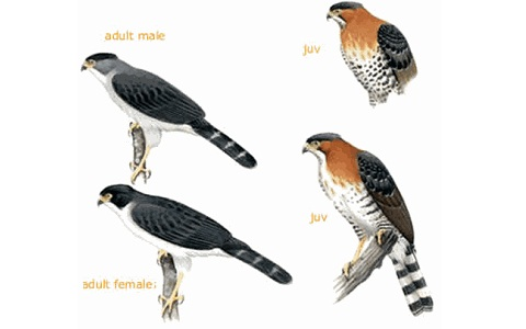 xopark5Autour-à-ventre-gris—Accipiter-poliogaster—Grey-bellied-Hawk
