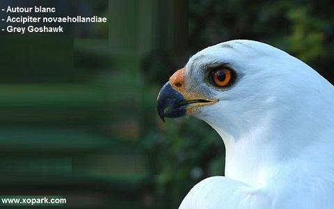 xopark5Autour-blanc—Accipiter-novaehollandiae—Grey-Goshawk