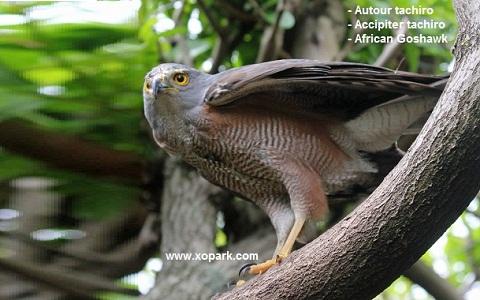 xopark5Autour-tachiro—Accipiter-tachiro—African-Goshawk