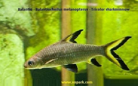 xopark5Balantio—Balantiocheilus-melanopterus—Tricolor-sharkminnow