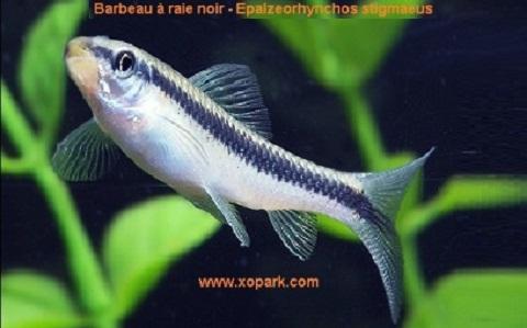 xopark5Barbeau-à-raie-noir—siamese-algae-eater-lg