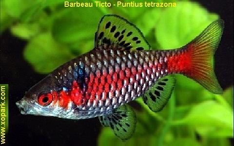 xopark5Barbeau-Ticto—Puntius-tetrazona