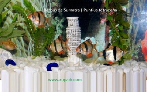 xopark5Barbus-de-Sumatra—Puntius-tetrazona—Tiger-barb