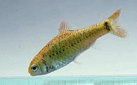 xopark5Barbus-doré—Puntius-semifasciolatus—Chinese-barb