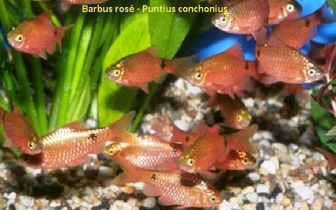 xopark5Barbus-rosé—Barbus-conchonius—Rosy-barb