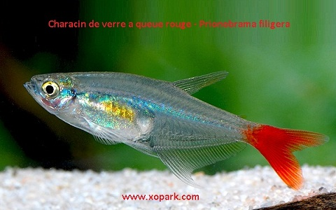 xopark5Characin-de-verre-à-queue-rouge—Prionobrama-filigera—Glass-bloodfin