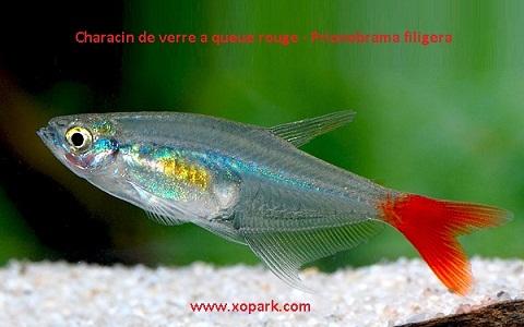 xopark5Characin-de-verre-à-queue-rouge—Prionobrama-filigera—Glass-bloodfin