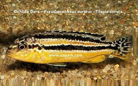 xopark5Cichlide-Dore—Pseudotropheus-auratus—Tilapia-aurata