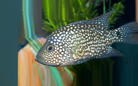 xopark5Cichlide-du-Texas—Herichthys-cyanoguttatus—Rio-Grande-cichlid