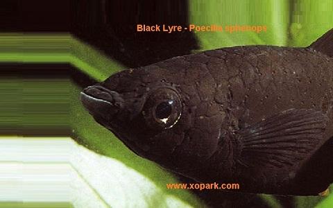 xopark5Molly-noir—Black-Lyre—Poecilia-sphenops