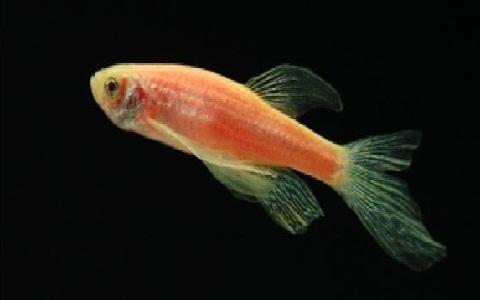 xopark5Poisson-zèbre—Danio-rerio—Zebrafish