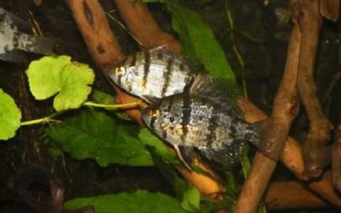 xopark5Promotis-à-bandes-noires—Enneacanthus-chaetodon