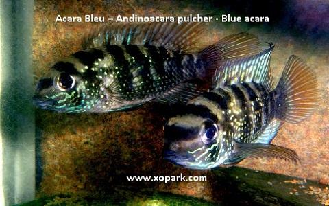 xopark6Acara-Bleu—Andinoacara-pulcher—Blue-acara
