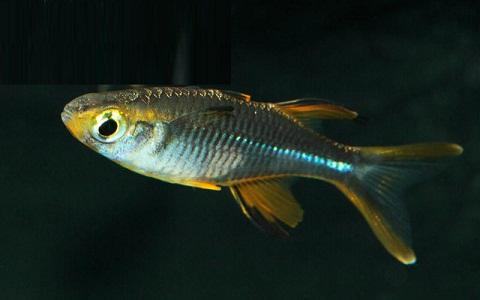 xopark6Arc-en-ciel-des-Célèbes—Telmatherina—Celebes-rainbowfish