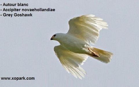 xopark6Autour-blanc—Accipiter-novaehollandiae—Grey-Goshawk