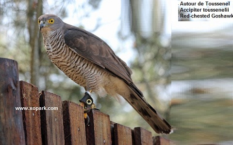 xopark6Autour-de-Toussenel—Accipiter-toussenelii—Red-chested-Goshawk