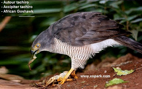 xopark6Autour-tachiro—Accipiter-tachiro—African-Goshawk
