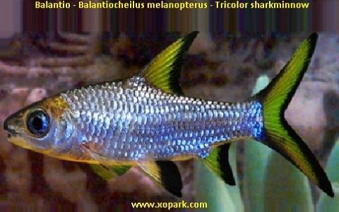 xopark6Balantio—Balantiocheilus-melanopterus—Tricolor-sharkminnow