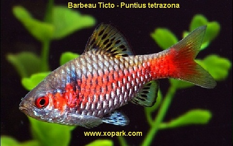 xopark6Barbeau-Ticto—Puntius-tetrazona