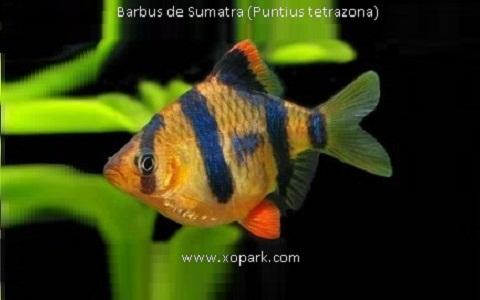 xopark6Barbus-de-Sumatra—Puntius-tetrazona—Tiger-barb