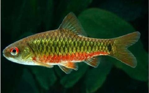 xopark6Barbus-doré—Puntius-semifasciolatus—Chinese-barb