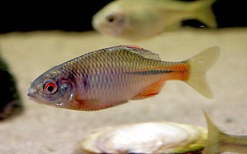 xopark6Bouviere—Rhodeus-sericeus-amarus