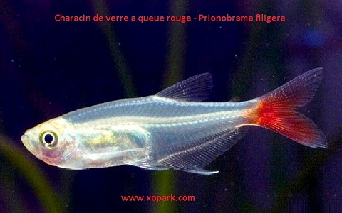 xopark6Characin-de-verre-à-queue-rouge—Prionobrama-filigera—Glass-bloodfin