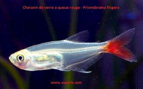 xopark6Characin-de-verre-à-queue-rouge—Prionobrama-filigera—Glass-bloodfin
