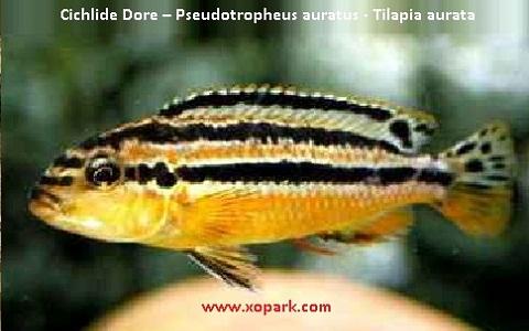 xopark6Cichlide-Dore—Pseudotropheus-auratus—Tilapia-aurata