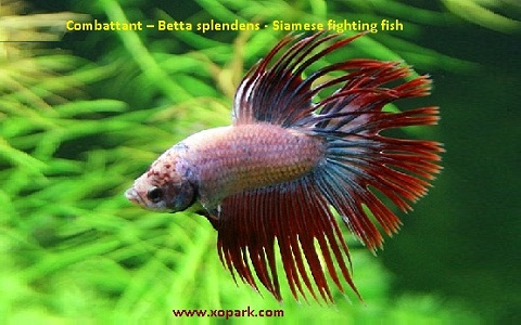 xopark6Combattant—Betta-splendens—Siamese-fighting-fish