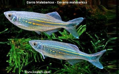 xopark6Danio-Malabaricus—Malabar-danio—Malabar