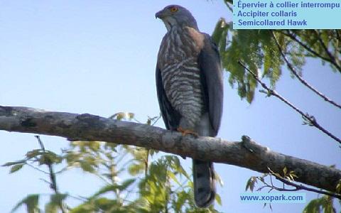 xopark6Epervier-à-collier-interrompu—Accipiter-collaris—Semicollared-Hawk